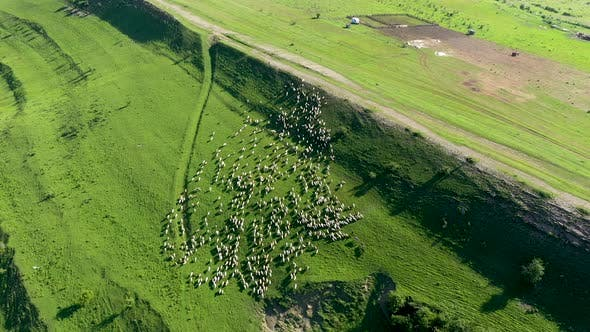 Thumbnail for Aerial View of a Herd of Sheep