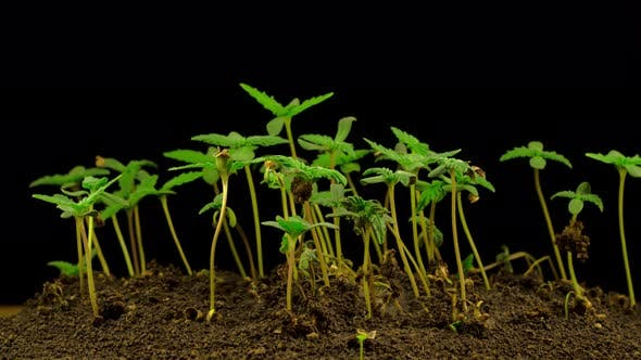 Cover Image for Marijuana Plant Growing