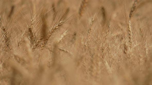Thumbnail for Barley Fields