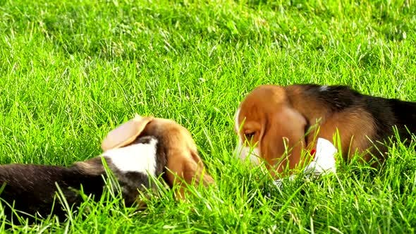 Thumbnail for Show Dog of Breed of Beagle on a Natural Green Background