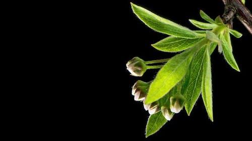 Time Lapse Blooming Spiraea