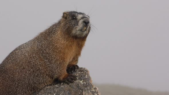 Thumbnail for Closeup of Yellow-bellied Marmot Animal Rocky Mountain National Park in Fog