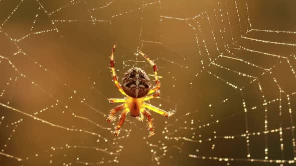 Thumbnail for Spider on Cobweb Waiting for the Future Victim