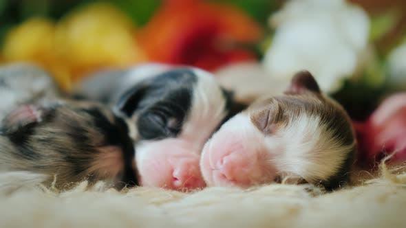 Thumbnail for Three Newborn Puppy Sleeping on the Background of a Bouquet of Roses