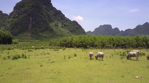 Water Buffaloes Graze on Fresh Grass at Forest Bird Eye View