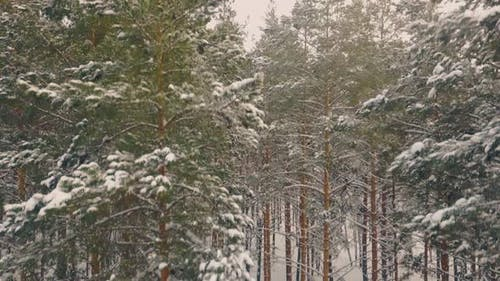 Pines Covered with Snow Grow in Winter Wood Bird Eye View
