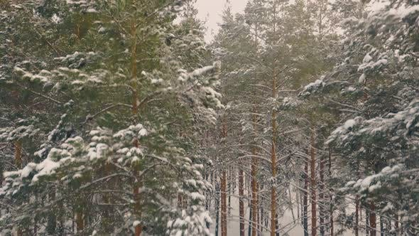 Thumbnail for Pines Covered with Snow Grow in Winter Wood Bird Eye View