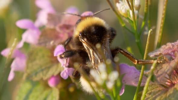 Bumblebee Pink Flower Meadow