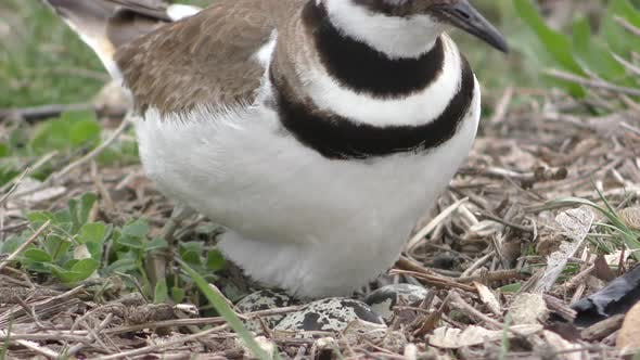 Thumbnail for Closeup Killdeer Bird Nesting Incubating Eggs Sitting Down Covering Ground Nest