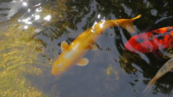 Thumbnail for Koi Fish Pond