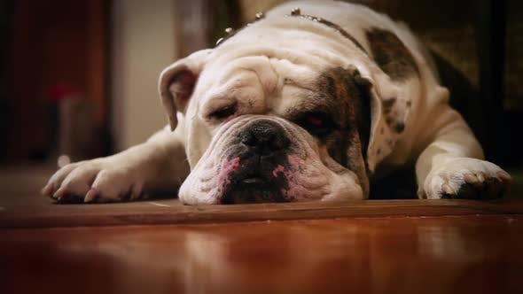 Thumbnail for Tired Olde English Bulldog
