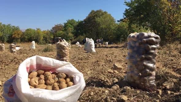 Thumbnail for Potato Field
