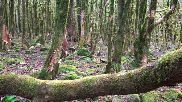Tree Barks in a Mystic Forest Completely Covered With Moss