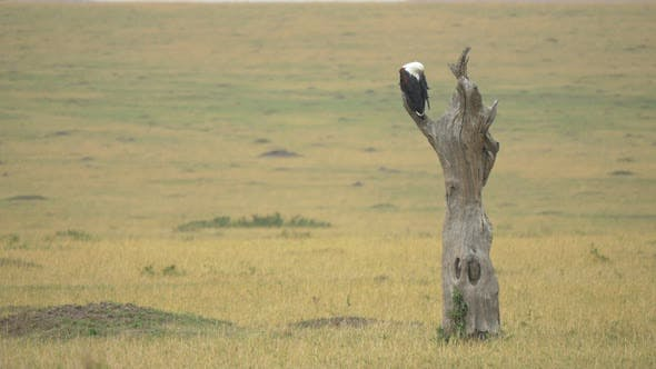Bald eagle on a dry tree trunk