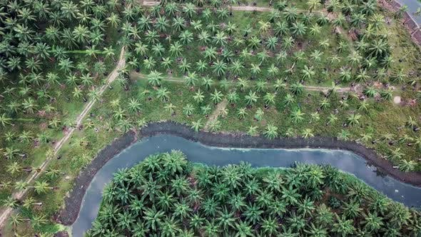 Aerial rotating descending look down coconut and oil palm plantation