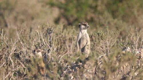 Two Meerkats looking around