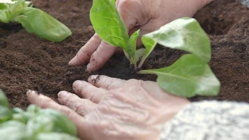 Hands Planting Vegetables Agriculture