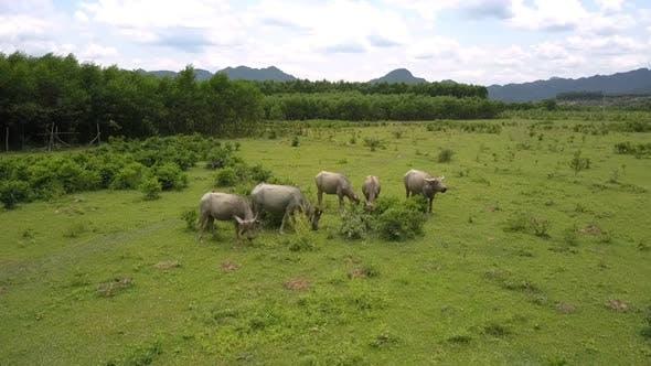 Buffaloes Herd Grazes on Grassland in Valley Bird Eye View