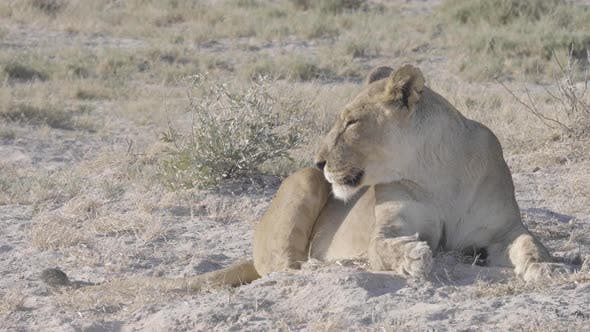 Lions Resting and Walking