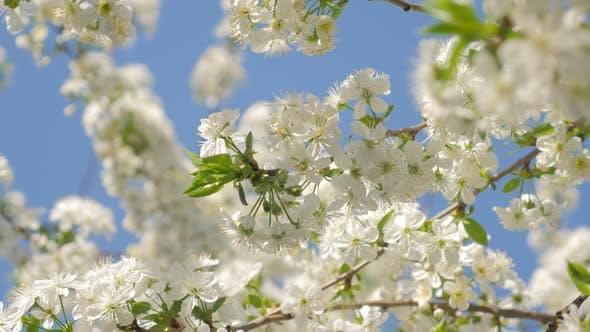 Cherry blossom   flower genus Prunus in front of blue sky 4K 2160p UHD footage - Prunus Cerasus frui