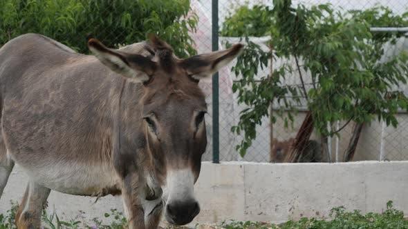 The Donkey Shakes His Head