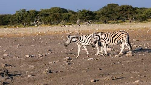 zebra in Etosha waterhole, Namibia wildlife safari