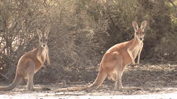 Red Kangaroo Female Adult Immature Pair Alarmed Nervous Wary