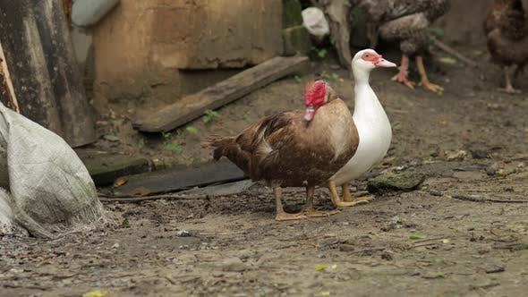 Thumbnail for Domestic White and Brown Duck and Rooster Walk on the Ground. Background of Old Farm. Search of Food