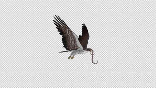 Snake Eagle with Caught Serpent - Flying Transition - I