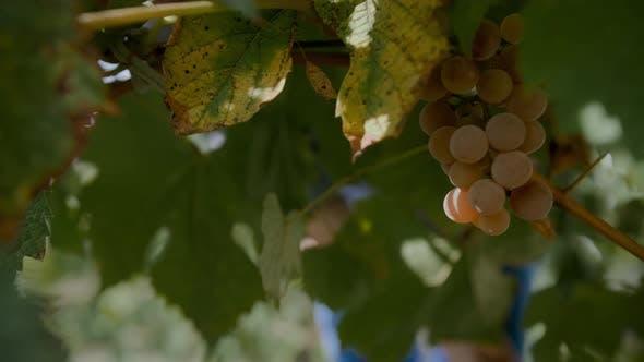 Thumbnail for Picking Grapes 4K