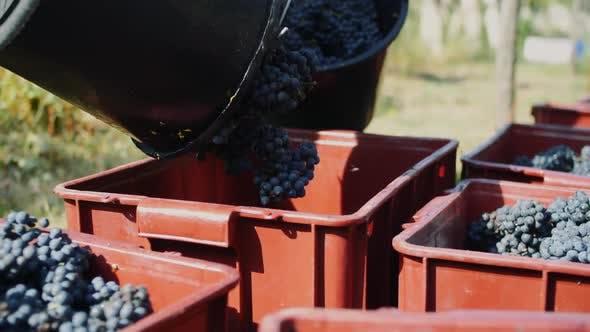 Grape Harvesting Outdoors in Sunlight