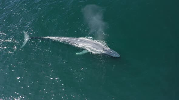 Thumbnail for The Aerial Survey Over the Huge Whale Spraying the Water From His Back and Going Under the Water
