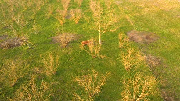 Thumbnail for Cow Aerial