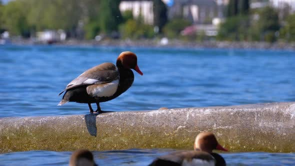 Thumbnail for Duck Stands on the Breakwater at Blue Lake Geneva. Switzerland, Montreux Embankment