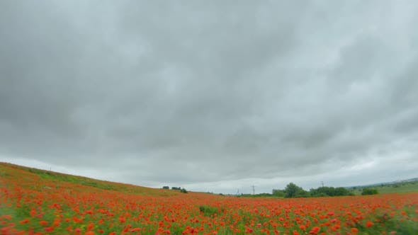 FPV Drone Quickly and Maneuverably Flies Over a Flowering Poppy Field