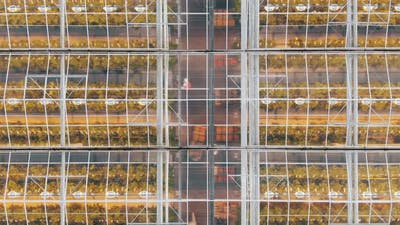 Busy Farmers Work Between Greenhouse Beds with Vegetables