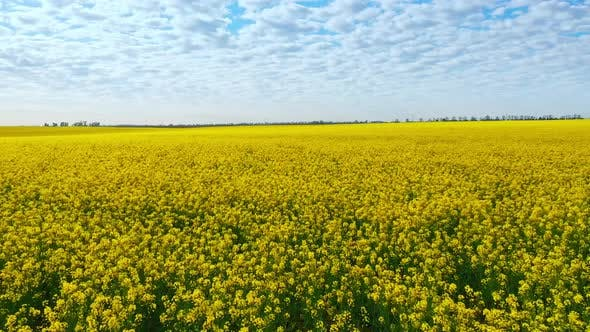 Thumbnail for Aerial Drone Footage of Field of Yellow Rape Against the Blue Sky