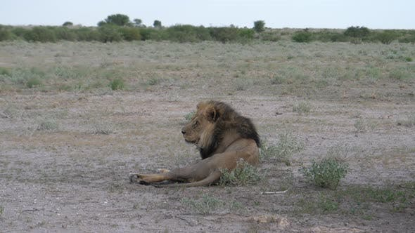 Thumbnail for Male lion resting and yawning at savanna