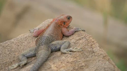 Close up of a common agama