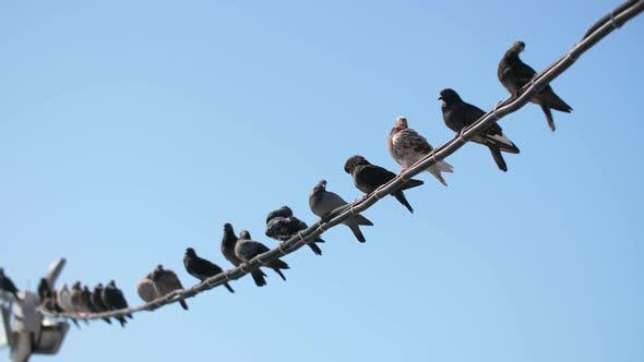 Thumbnail for Pigeons Sitting on Electricity Cable