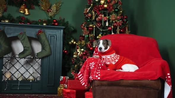 Thumbnail for Hund In Strickpullover Sitzen In Der Nähe von Kamin Und Weihnachtsbaum