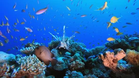 Red Sea Lion-fish