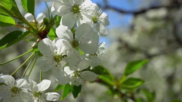 Thumbnail for Spring Flowering Cherries 4