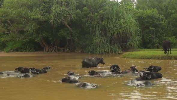 Thumbnail for Animals of Sri Lanka. Buffalos in the Lake