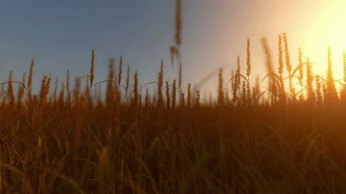 Ohren von Goldenem Weizen Nahaufnahme