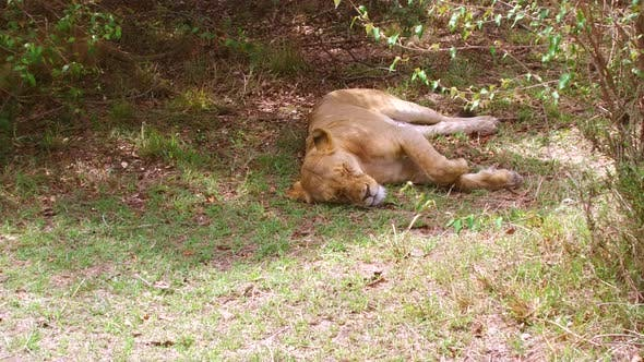 Lioness Resting in Savanna Woods at Africa