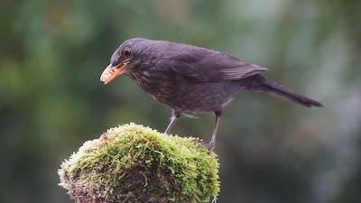 Blackbird eating on small rock
