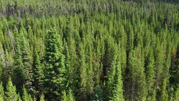 Thumbnail for Flying over thick pine forest above tree tops