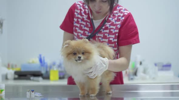 Thumbnail for Veterinarian Woman with Stethoscope Examining Dog in Veterinary Clinic. Animal Treatment