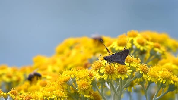 Thumbnail for Butterfly Named Vanessa Cardui On Yellow Flowers 13